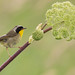 Common yellowthroat - Paruline masquée - Geothlypis trichas