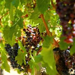 #napavalley #grapes #california #notallwhowanderarelost #travelricans #futurewine #latergram