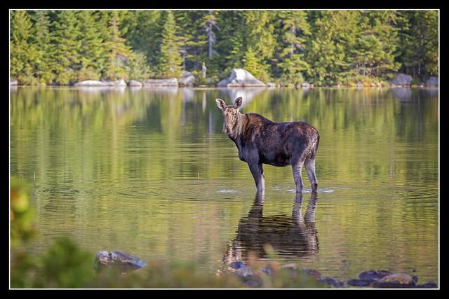 BSP Moose...