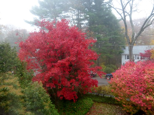 Japanese maple on foggy day