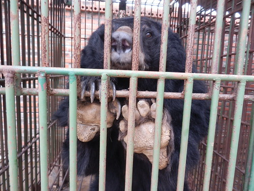 Bear in the cage on Cau Trang bear farm 12