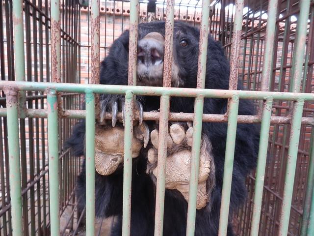 Bear in the cage on Cau Trang bear farm