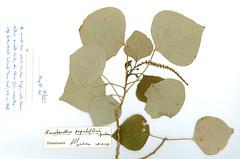 Homalanthus populifolius (reverse side) from Lord Howe Island
