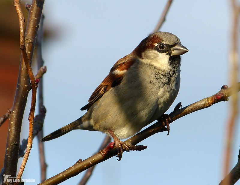 P1100578 - House Sparrow, Garden