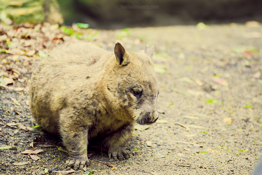 Cute chubby hairy-nosed wombat