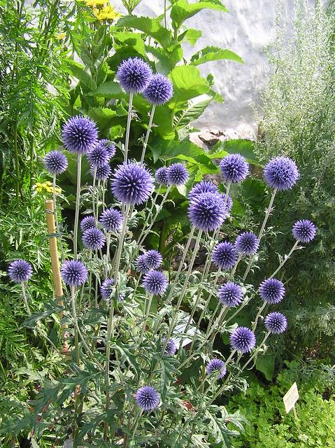 Tartu BG Herb Garden, Echinops rito