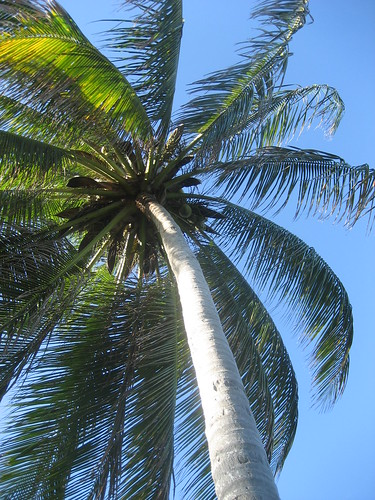 coconut tree in Jamaica's north coast