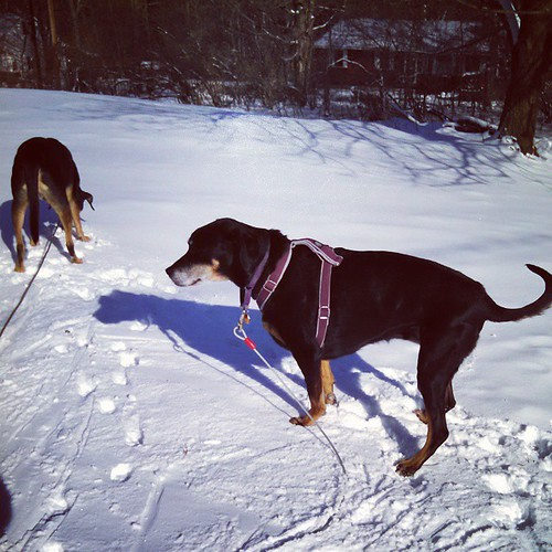 Lola and Tut checking out the fresh snow... #dogstagram #instadog #snow #winter #rescued #dobermanmix #coonhoundmix #seniordog