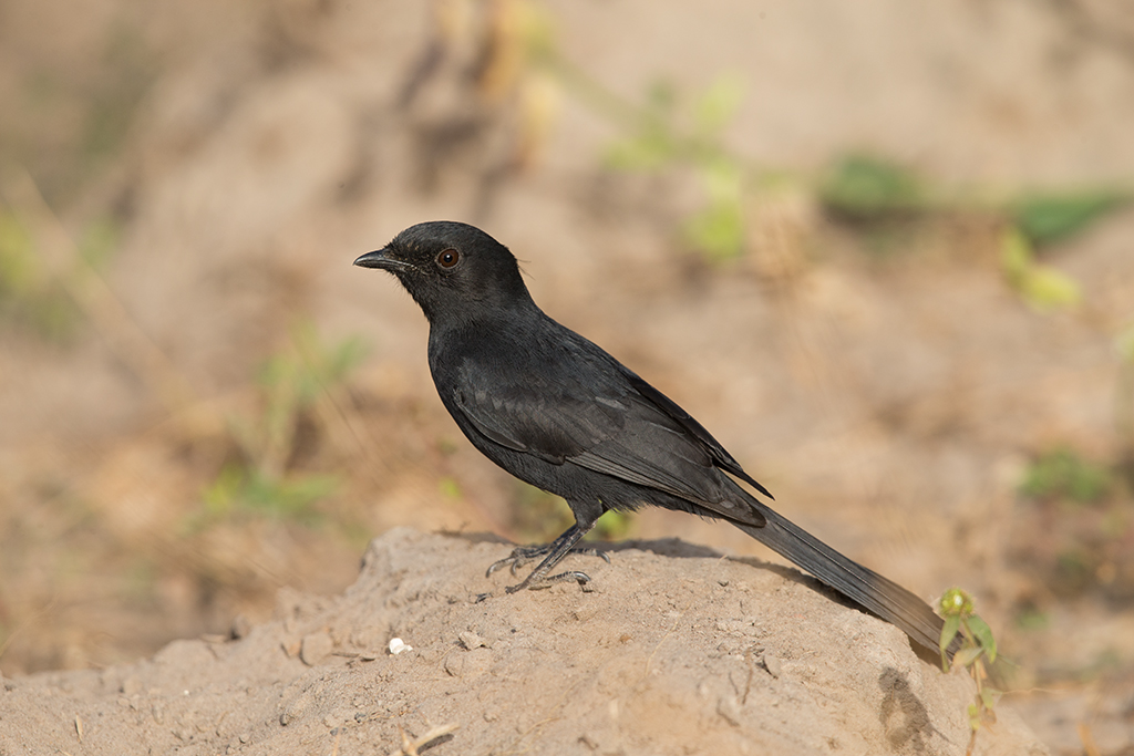 Northern Black Flycatcher   Gambia