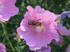garden cosmos(0.0), malva(0.0), annual plant(1.0), flower(1.0), pinkladies(1.0), plant(1.0), macro photography(1.0), flora(1.0), pink(1.0), petal(1.0),