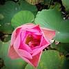 #lotus #flower
