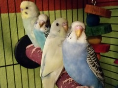 animal, parrot, pet, parakeet, common pet parakeet, bird,