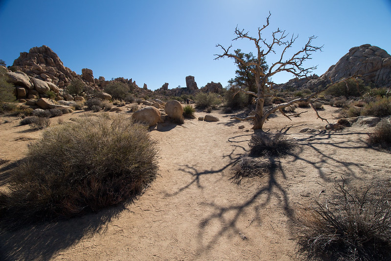 tree, Joshua Tree NP, California, USA