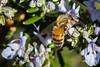 rosemary blossom honey