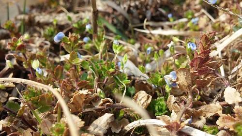 큰개불알풀꽃 | 공릉천 봄풍경