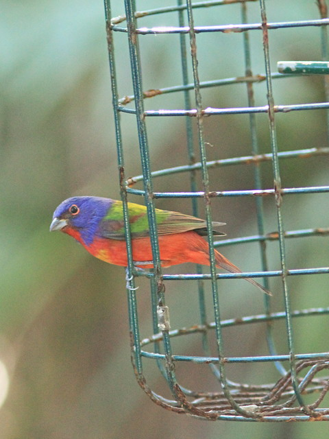 Painted Bunting male 20150212