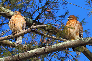 Red Shouldered Hawk Pair