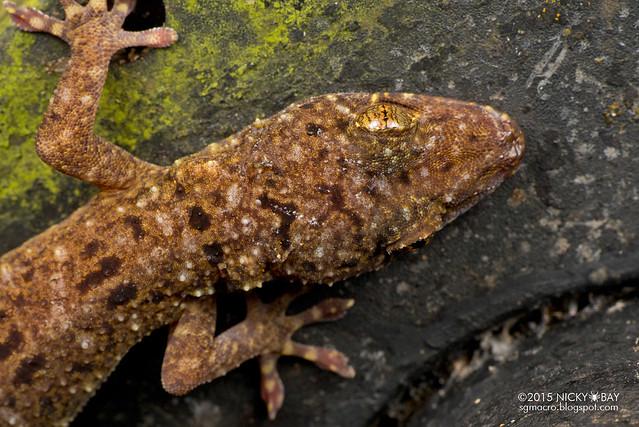 Gecko (Gekkota) - DSC_4289