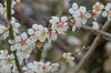 Photo:plum-blossom By cotaro70s