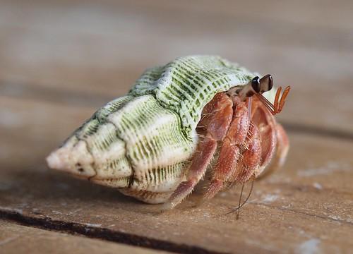 sea beach island shell crab crustacean maldives hermit gan