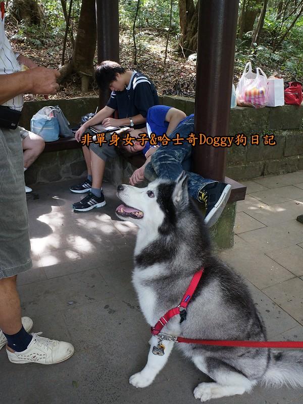 哈士奇Doggy2013陽明山二子坪13