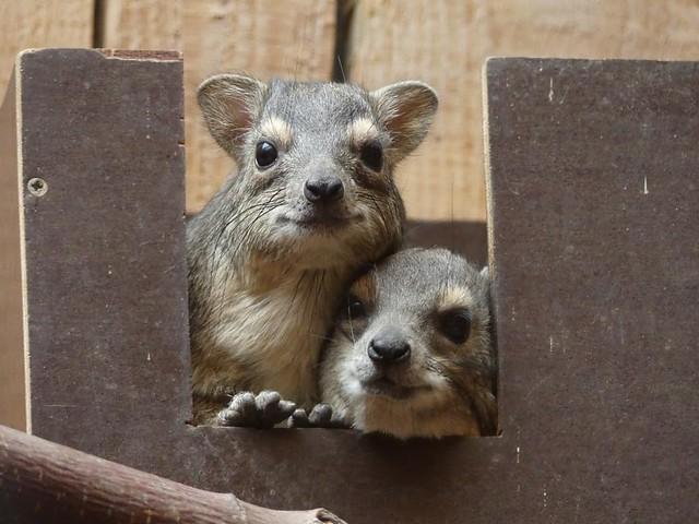 Buschschliefer, Zoo Magdeburg