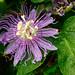 Passiflora - Photo (c) Fritz Flohr Reynolds, algunos derechos reservados (CC BY-SA)
