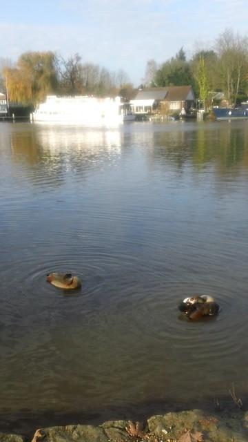 Harlequin Ducks on Thames
