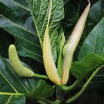 Artocarpus altilis male flower and fruit