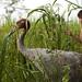 Sarus crane & Khmer boy by Arddu