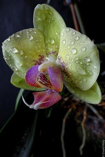 Phalaenopsis_