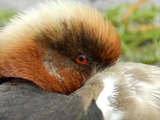Fistione turco / Red-crested pochard (Netta rufina)