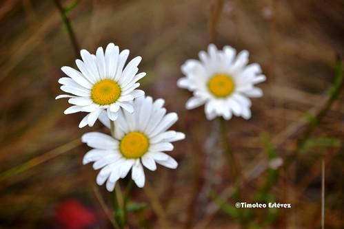 Valle Nuevo, flores