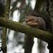 Red Squirrel - Sciurus vulgaris - (Swe: Ekorre)