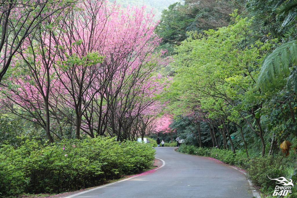 2015三芝青山路賞櫻11
