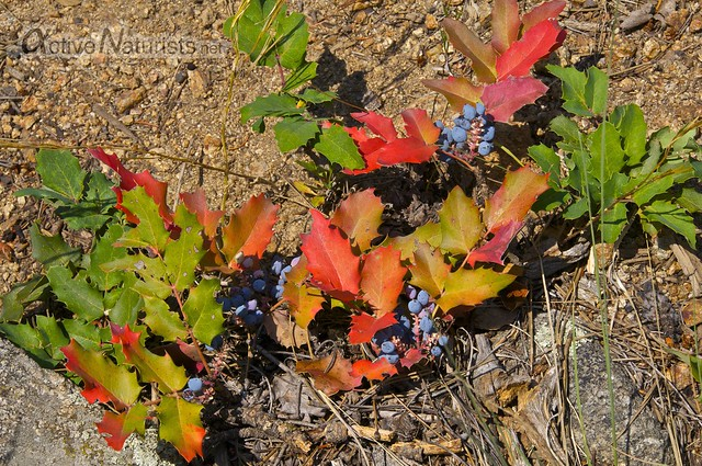 Oregon grape holly 0000 Dream Canyon, Colorado, USA
