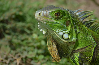 Iguana / Baru