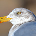 Small photo of American Herring Gull (Larus argentatus smithsonianus)