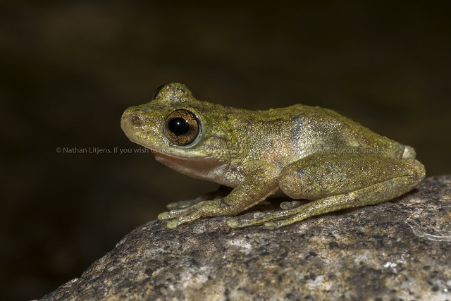 Common mistfrog (Litoria rheocola)