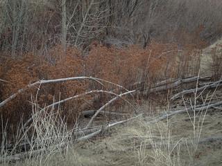 Rusting hedge