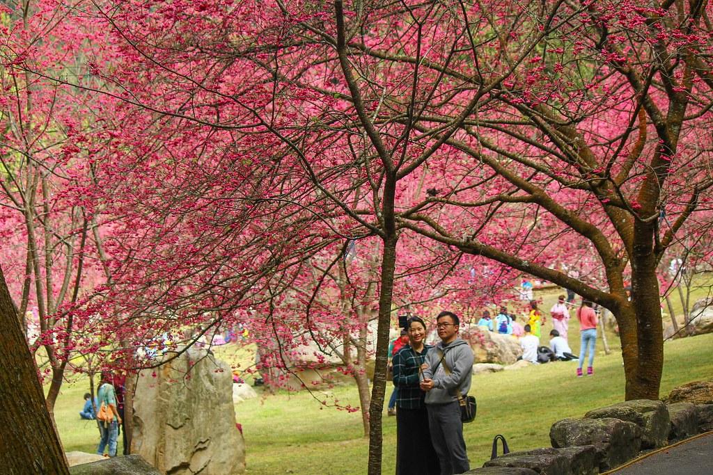 九族櫻花祭 (177)