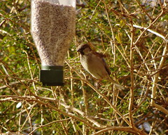 Sparrow about to feed