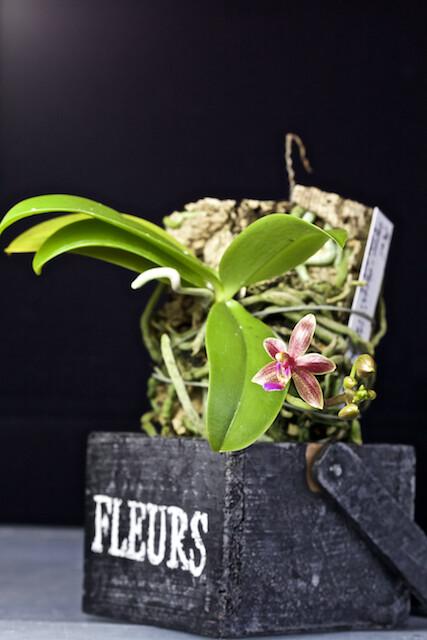 Phalaenopsis Cornustris 16484403358_9275b3bec2_z