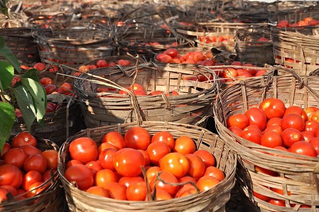 Ilocos Tomatoes