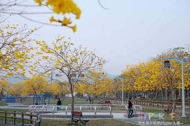 廍子公園 黃花風鈴木 (5)