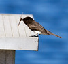 Black Phoebe with dragonfly