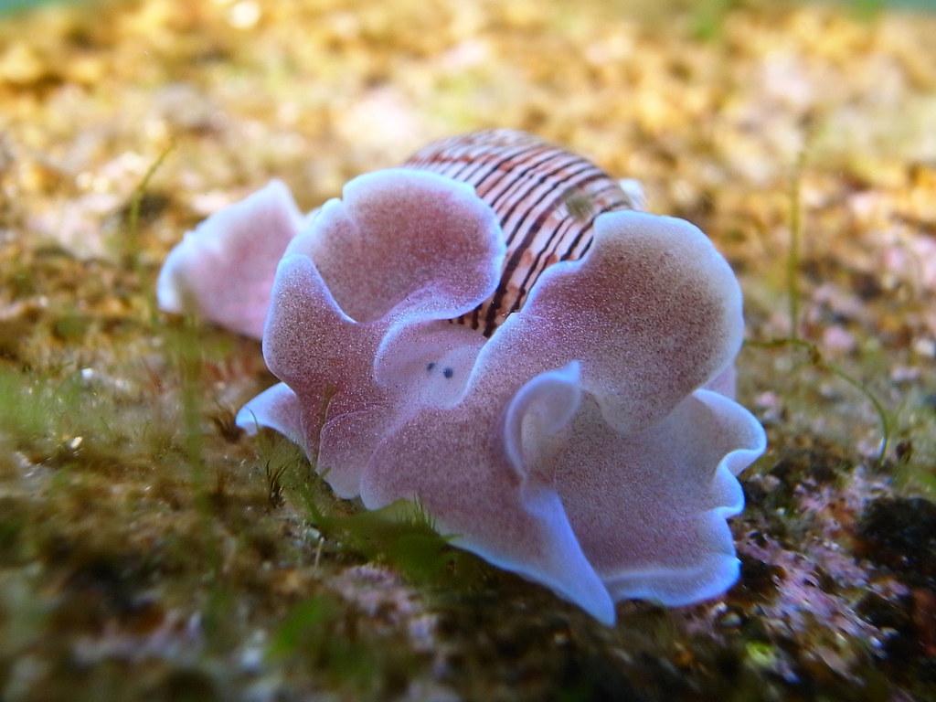 Bubble Snail Rose Petal-Hydatina physis