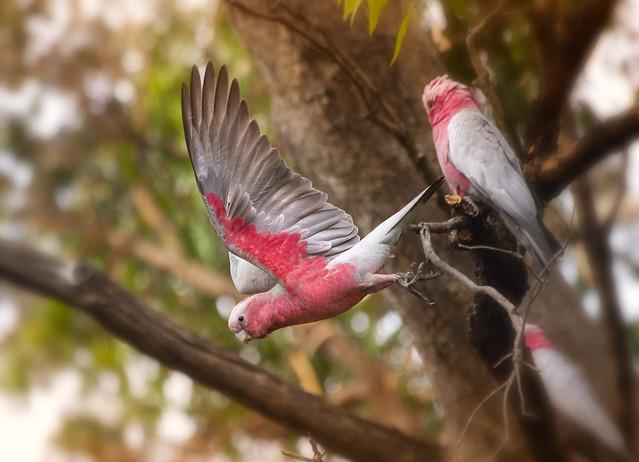 Pink & Grey Cockatoo's, Myalup, Western Australia