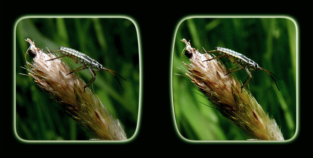 Meadow Plant Bug Nymph 3 - Cross-eye 3D