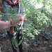 Small photo of Acacia melanoxylon